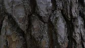 Bark of coniferous tree. background