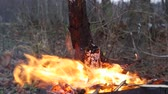 kamp ateşi : Bonfire in the forest in windy weather Stok Video