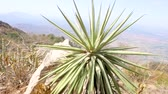 crescente : Agave plant in a sunny day