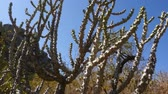 gigante : Big cactus in the mountains