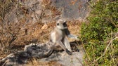 simio : Langur monkeys in a tree on a sunny day Archivo de Video