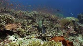 plectorhinchus : Blackspotted sweetlips fish on coral reef in sea. Blackspotted sweetlips Plectorhinchus gaterinus fish swimming on coral reef in tropical sea. Underwater Marine Life. Ocean Footage. Scuba dive. Bali.