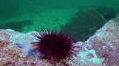 ouriço : Sea urchin on the sea floor in search of food. Amazing underwater world and the inhabitants, fish, stars, octopuses and vegetation of the Sea of Japan.
