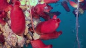 aquarium : Red sea sponges in the wreckage of a shipwreck. Amazing underwater world and the inhabitants, fish, stars, octopuses and vegetation of the Sea of Japan. Stock Footage