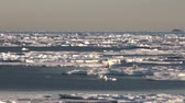 spacecraft : Mother white polar bear and her cub on cold ice floe in the Arctic near Greenland Iceland and go swimming in search of food on the Sunset. Video shooting from the spacecraft. Stock Footage