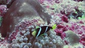 teljesen : Anemones and clown fish in the stream. Close Up Shot. Amazing, beautiful underwater marine life world of sea creatures in Maldives. Scuba diving and tourism. Stock mozgókép