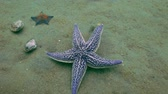 ouriço : Starfish prey on a sandy bottom on the shells. Amazing underwater world and the inhabitants, fish, stars, octopuses and vegetation of the Sea of Japan.