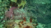 kamie�� : Big octopus in the stone seabed in search of food. Amazing underwater world and the inhabitants, fish, stars, octopuses and vegetation of the Sea of Japan. Wideo