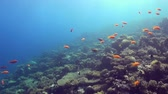red : Underwater shot of teaming hard tropical coral reef top in Red Sea and floating around small colorful fish. Amazing, beautiful marine life world of sea creatures. Scuba diving and tourism.