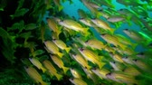 teljesen : A flock school of tropical fish on the reef in search of food. Amazing, beautiful underwater marine life world of sea creatures in Maldives. Scuba diving and tourism. Stock mozgókép