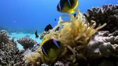 tloušťka : Anemones and clown fish on sea floor on coral reef in lagoon. Amazing, beautiful underwater marine life world of sea creatures in Red Sea. Scuba diving and tourism.