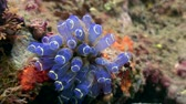 анемон : Anemone actinium underwater on seabed of nature Philippines. Travel in world of unique colorful beautiful ecosystem nature coral, algae, fish. Diving.