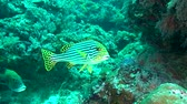 aquarium : Striped fish on background of of clear seabed underwater in sea of Maldives. Swimming in world of colorful beautiful seascape. Aquarium of wild nature. Abyssal relax diving. Stock Footage