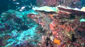 deep sea shrimps : School of fish and shrimp on background of clear seabed underwater of Maldives. Swimming in world of colorful beautiful seascape. Aquarium of wild nature. Abyssal relax diving. Stock Footage