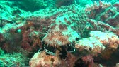 cucumber soup : Sea cucumber on background of clear seabed underwater of Maldives. Swimming in world of colorful beautiful seascape. Aquarium of wild nature. Abyssal relax diving. Stock Footage