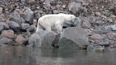 surrounding environment : White polar bear walking on snow in desolate ice of tundra in Svalbard. Wildlife. Dangerous animals in Nordic badlands. Unique footage on background natural landscape of Spitsbergen in Arctic.