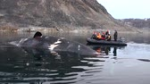 badlands : Svalbard - 25 September 2016: People in boat near the big whale lies dead in water of Arctic. Dangerous animals in Nordic badlands. Unique footage on background natural landscape of Spitsbergen.