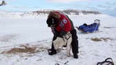 trenó : Spitsbergen, Norway-21 April 2011: People expedition on dog sled team husky Eskimo road of North Pole in Arctic. Way from airport Longyear to Pyramiden Spitzbergen on background of glacier Svalbard. Stock Footage