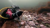 scallops : Russia, Barents Sea- 23 May 2017: Diver playing with king crabs underwater on seabed of Kamchatka. Nature in clean transparent cold water. Wildlife on background of blue marine in Arctic ocean.
