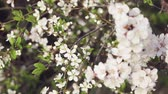 não urbano : Branch with cherry flowers on a background of a small cherry
