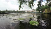 slough : Camera action on river wharf with growing water lilies and willow Stock Footage