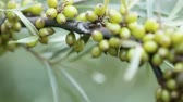 botany : On background of greenery Unripe Seabuckthorn