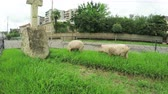 nibbling : Pigs roam freely on city streets