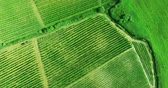 cipreste : Beautiful geometry of vineyard rows shot from above in Tuscany, Italy. Aerial shot.