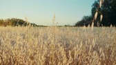 mowed : Amazing dry golden wild grass in the field on sunset. Tracking shot.