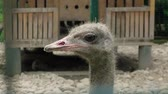 struś : Portrait of Ostrich