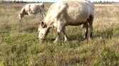 estonya : a beige cow walks in the autumn meadow and eats grass on a free pasture, close up photos Stok Video