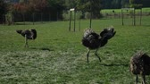 struś : Ostrich farm. The ostrich is dancing. Mating season.