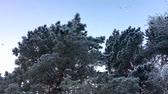 Snow slowly falls on the trees. Winter fabulous, beautiful forest. View from the bottom up. Clean, fluffy white snow. Stock Footage