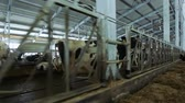 feeder : Modern dairy farm. Cows stand in pens and eat hay. Stock Footage
