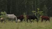 Horses grazing sappy grass in green lawn at a birch forest Stok Video