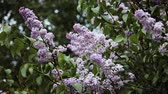 blooming lilac. butterfly on the leaves.