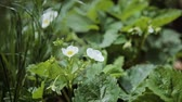 Small white strawberry flowers in the garden. Blooming strawberry close up view. Stok Video