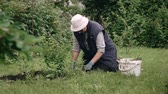 Farmer hands planting seedling in the vegetable garden. Organic farming and spring gardening concept. Stok Video