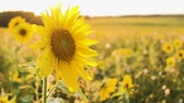 A field of sunflowers. Bright yellow sunflower in the sun. Sunflower close-up. Stok Video