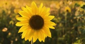 4K Sunflower close-up. A field of sunflowers. Bright yellow sunflower in the sun. Stok Video
