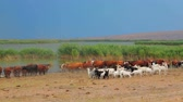 coming in : Group of goats and cows standing near watering place. Stock Footage