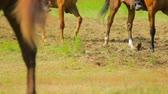 equestrian sport : Several Horses Moving On Green Meadow Stock Footage