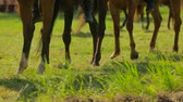 equestrian sport : Brown Horses Walking Around In Circle Stock Footage