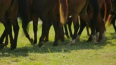 equestrian sport : Line Of Brown Horses Walking In Circle