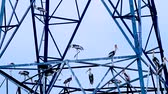 perché : Egrets perched on top of an electric tower Vidéos Libres De Droits