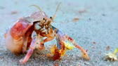 item : Selective focus. Motion blur. Hermit Crab inside the shell at the sand Stock Footage