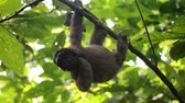 Young Three-toed sloth hanging from branch in the jungle, scratching itself, Central America, Panama Stock Footage