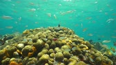 abundante : Underwater scenery, shoal of juvenile fish swimming above a shallow coral reef in the Caribbean sea