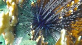 ouriço : Bright blue lines of long spined sea urchin, Diadema antillarum, underwater in the Caribbean sea Vídeos