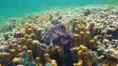 copulate : Couple of Caribbean reef octopus, Octopus briareus, mating on a coral reef with yellow tube sponge, Panama, Central America Stock Footage